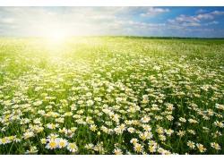 菊花草地风景