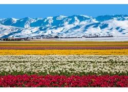 雪山郁金香风景