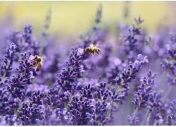 薰衣草上的蜜蜂