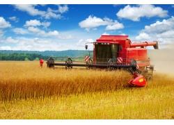 金色稻田里的收割机