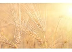 唯美小麦风光