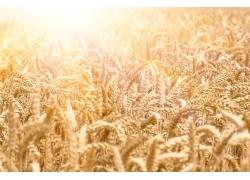 阳光与麦田背景