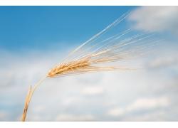 天空与小麦
