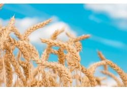 成熟的麦子