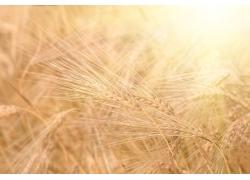 阳光与麦田