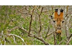 吃树叶的长颈鹿