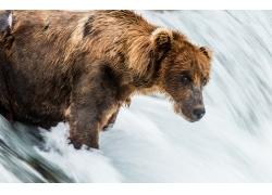 水中的狗熊