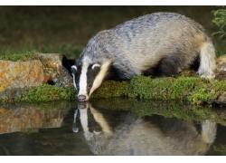 喝水的狗獾