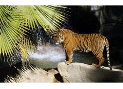瀑布旁的老虎