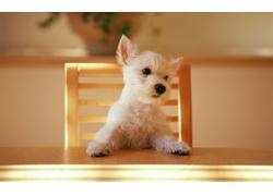 桌子上的小狗
