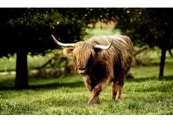 草地上的牛