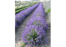 紫色的薰衣草花丛