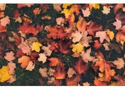 美丽的枫叶