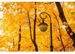 秋天的枫叶