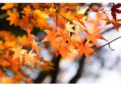 金黄色枫叶摄影