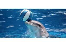 顶着球的海豚