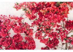 红色鲜花背景