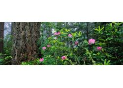树林里的杜鹃花摄影