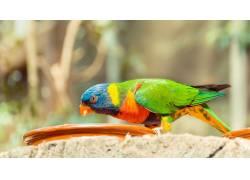 啄食的鹦鹉摄影
