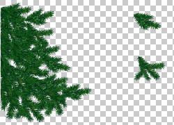 冷杉圣诞树枝图片