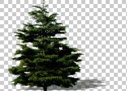 云杉冷杉松树图片