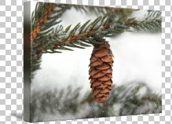 云杉冷杉针叶树松树常绿,松锥PNG剪贴画冬季,分支机构,树枝,家庭,图片