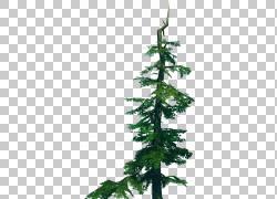 绿色云杉冷杉杉木图片