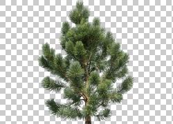 冷杉松树图片