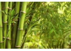 富贵竹摄影