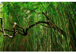竹林里的树枝