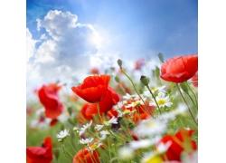 美丽罂粟花