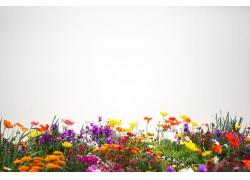 罂粟花摄影