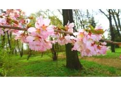 美丽樱花风景