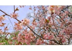春天樱花摄影
