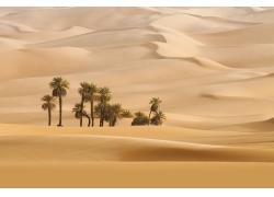 美丽沙漠椰树