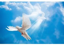 蓝天上飞翔的鸽子