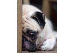 趴着的可爱小狗
