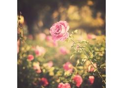 美丽月季花