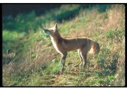 站在草地上的狐狸摄影