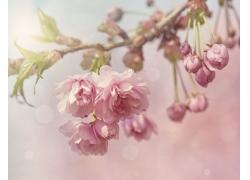 美丽樱花摄影