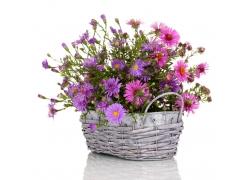 一篮子里的紫色菊花