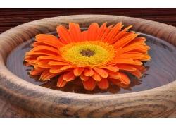 木盆里的小菊花