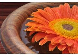 木盆里的美丽菊花