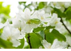 白色樱花摄影