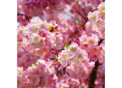 粉红色樱花摄影