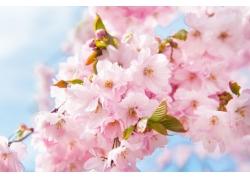 粉红色樱花背景