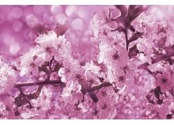 灿烂的樱花背景