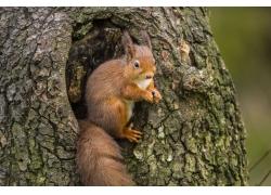 树上的松鼠摄影