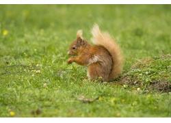草地上的可爱小松鼠