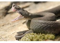 张开嘴巴的毒蛇